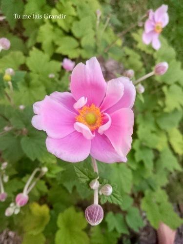 anemone d'automne