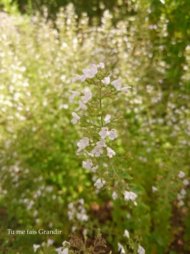 Fleur Blanche détail