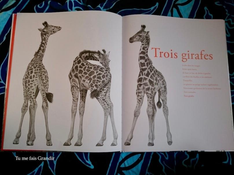 Sauvage Giraphes